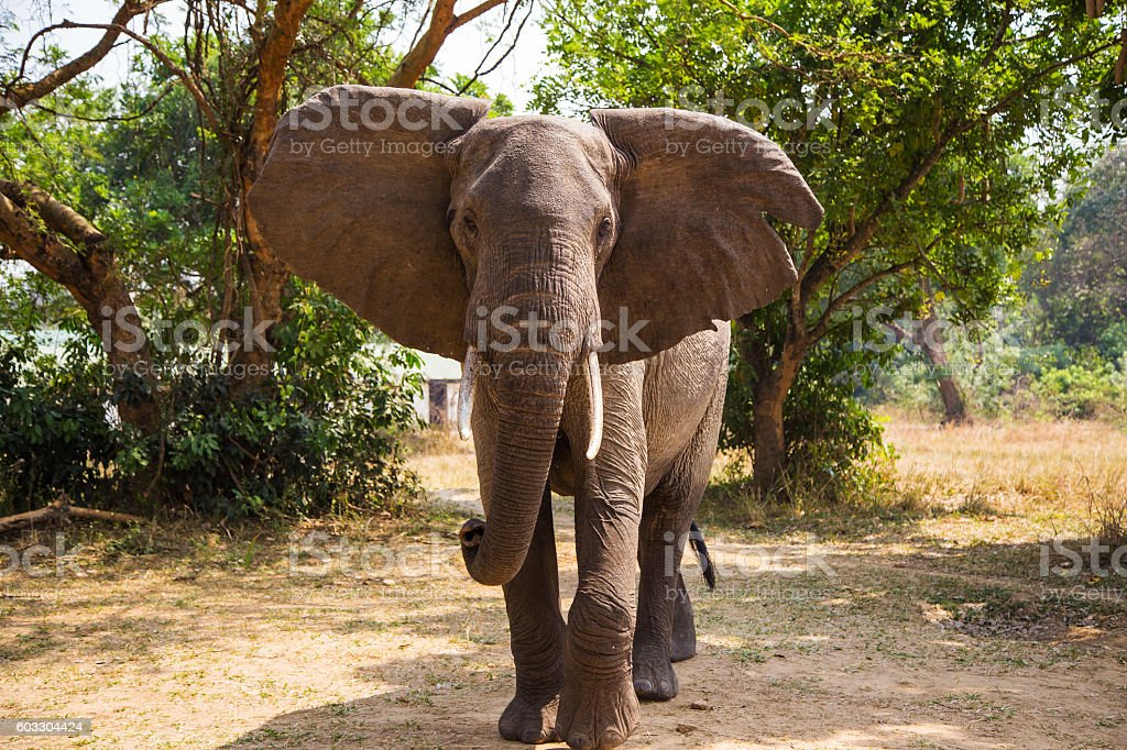 African elephants in the middle of the savannah stock photo