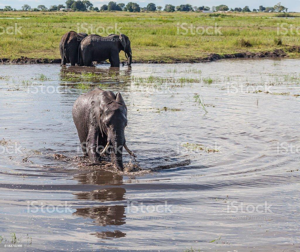 African Elephants in water, Chobe National Park, Botswana, Africa stock photo