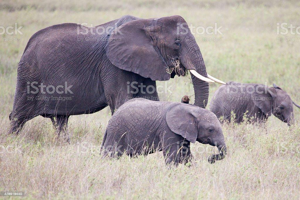 African Elephants is walking with two baby elephants stock photo