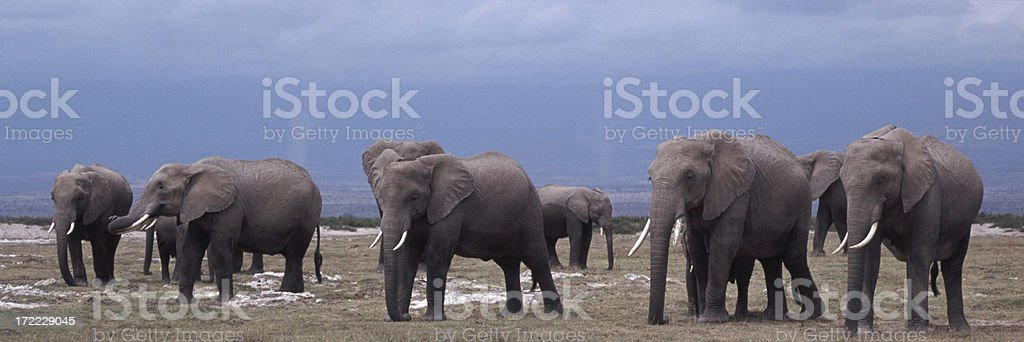 African Elephants (Loxodonta africana) royalty-free stock photo