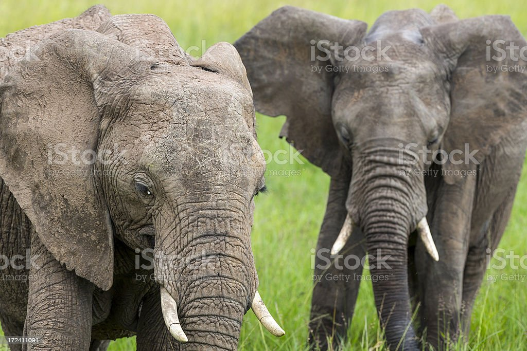 African Elephants royalty-free stock photo