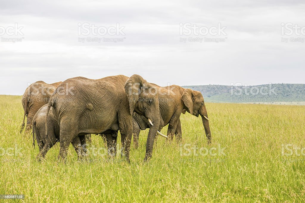 African Elephants royalty-free stock photo