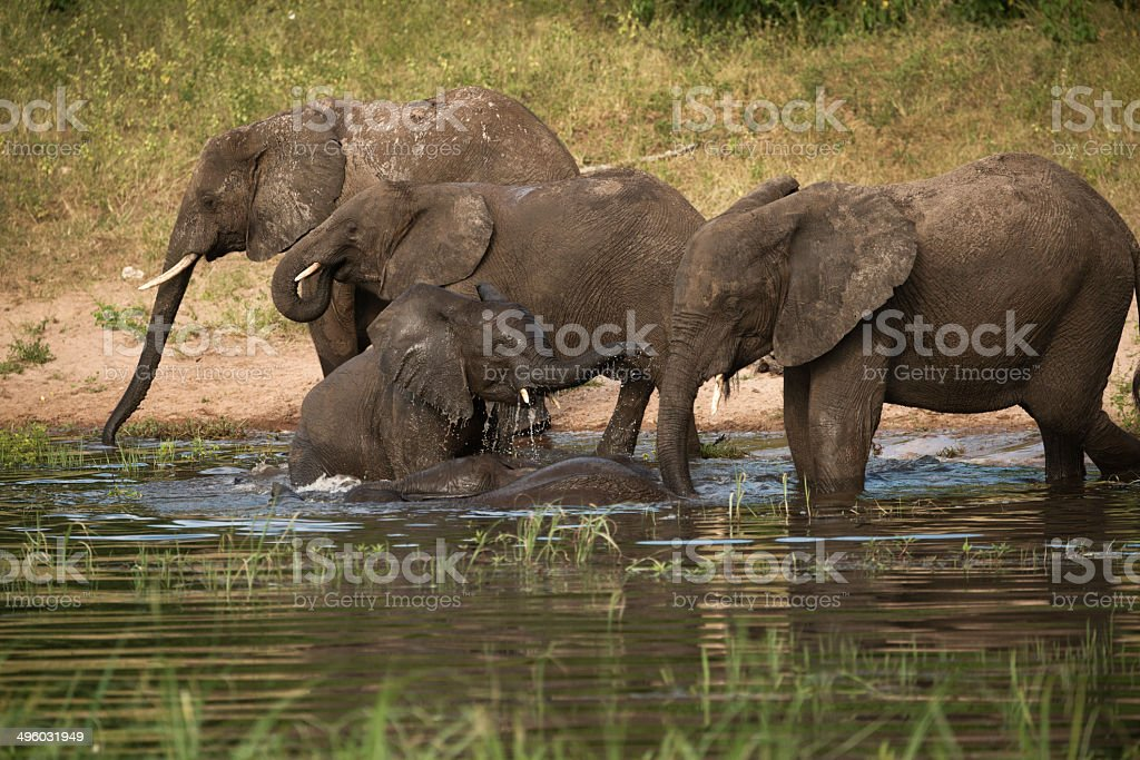African Elephants Playing in Chobe River Botswana stock photo