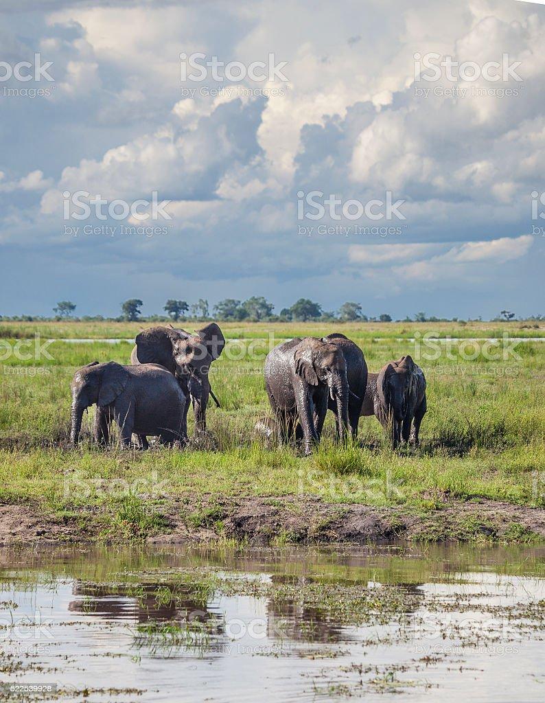 African Elephants under storm clouds; Chobe N.P. Botswana, Africa stock photo