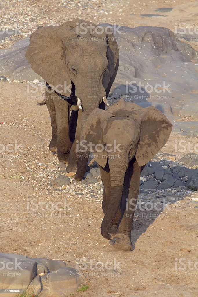 African elephants walking forwards together,  sandy area, top view royalty-free stock photo