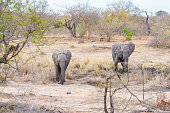 African Elephants walking in the Kruger National Park
