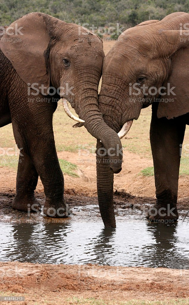 African elephants with trunks intertwined stock photo