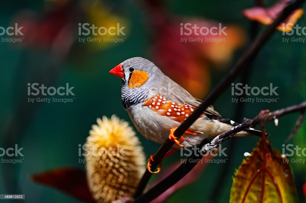 African Finch stock photo
