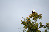 African Fish Eagle at Murchison Falls National Park