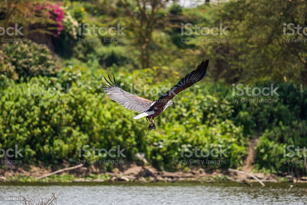 African fish eagle catching a fish stock photo