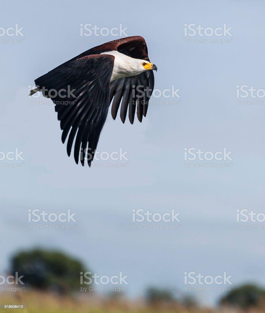 African Fish Eagle, Haliaeetus vocifer, flying against blue sky; Botswana stock photo