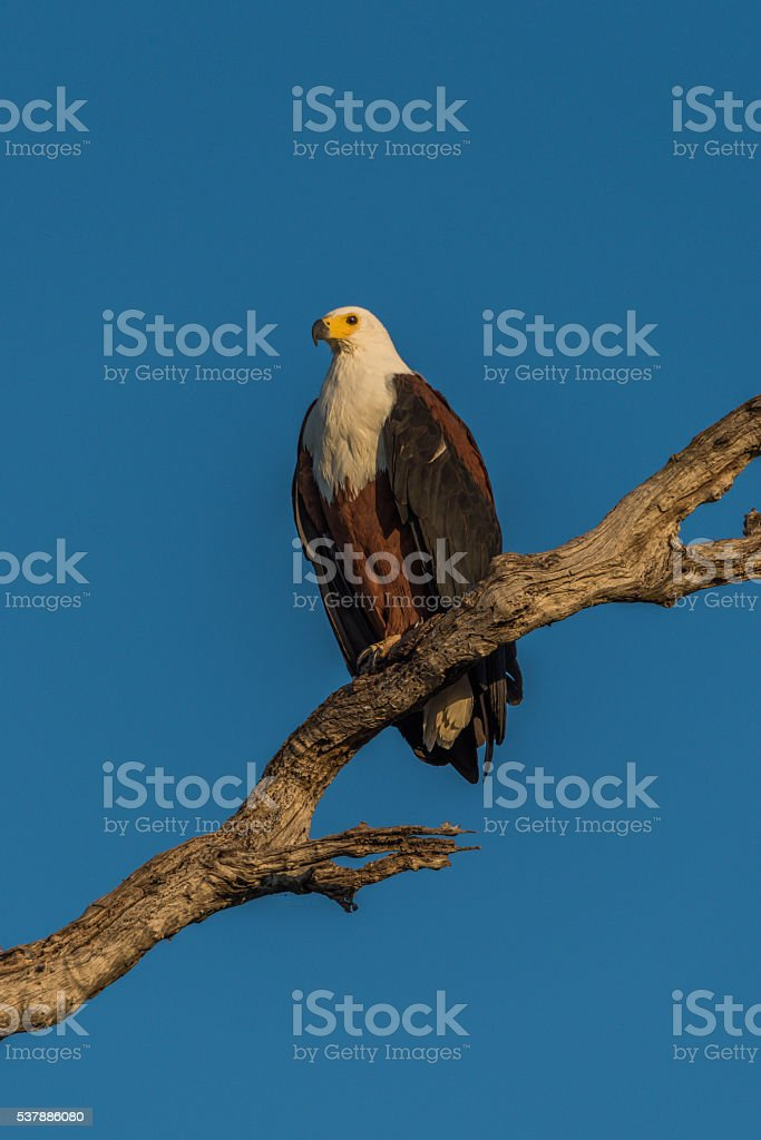 African fish eagle in afternoon light on branch stock photo