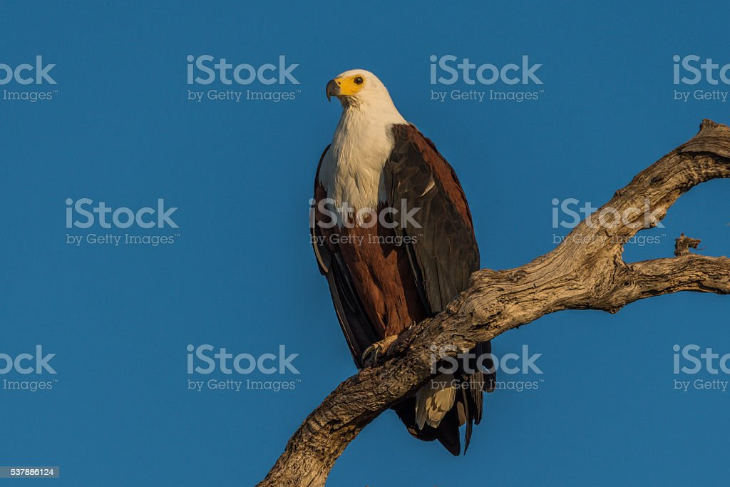 African fish eagle in golden light on branch stock photo