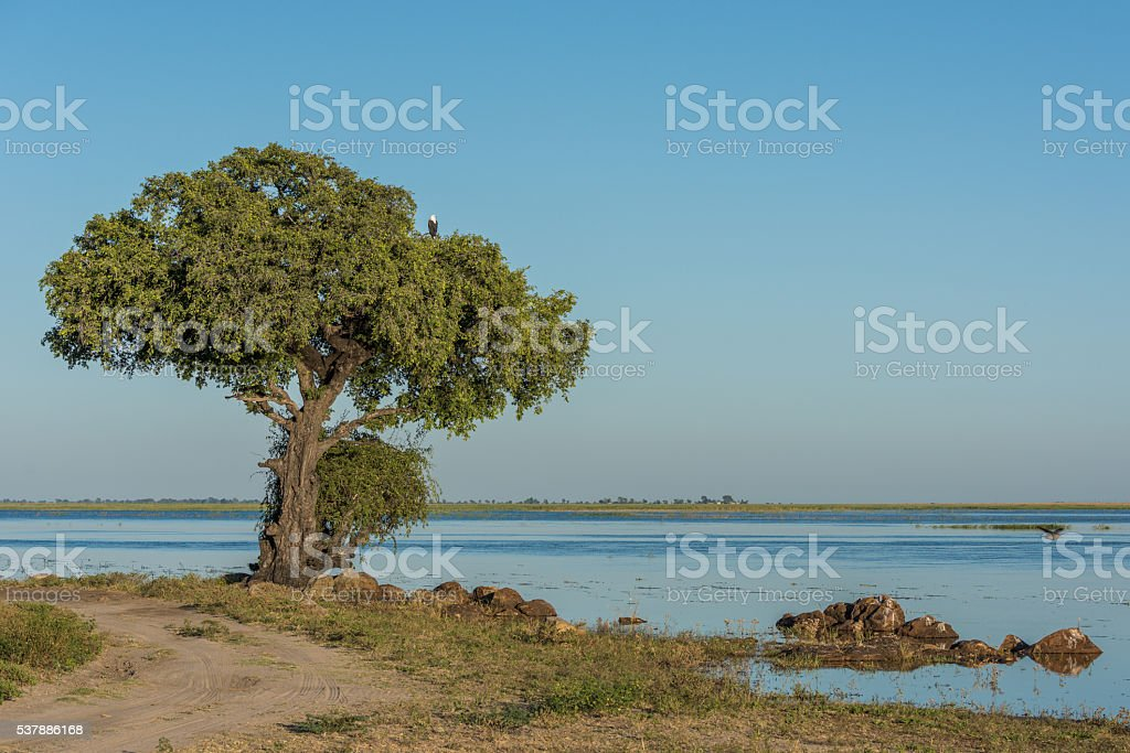 African fish eagle in tree beside river stock photo