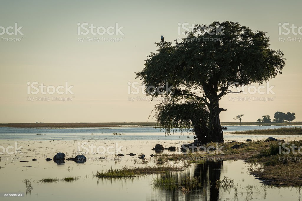 African fish eagle in tree on riverbank stock photo