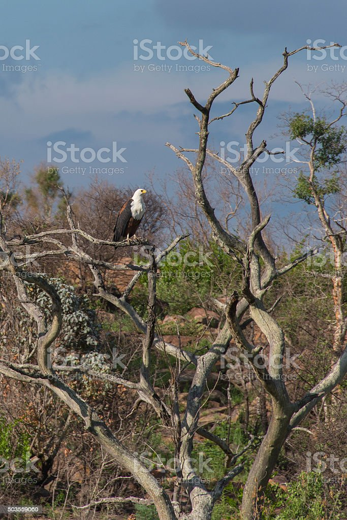 African Fish Eagle in tree stock photo