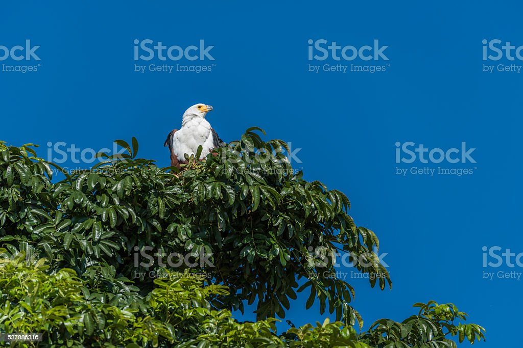 African fish eagle in treetop in sunshine stock photo