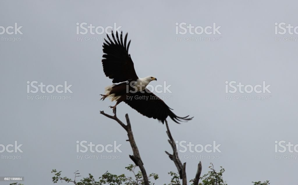 African Fish Eagle launched / Afrikaans visarend vertrekt stock photo
