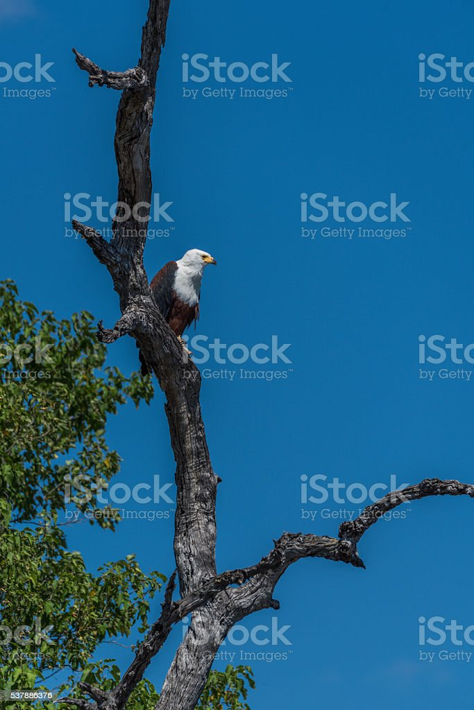 African fish eagle looking down from tree stock photo