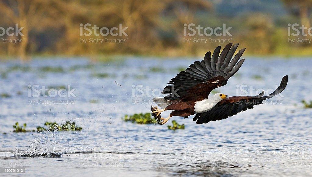 African fish eagle, Naivasha Lake royalty-free stock photo