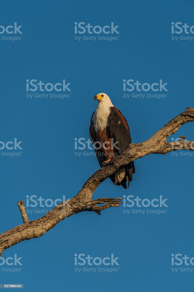 African fish eagle on branch in golden light stock photo