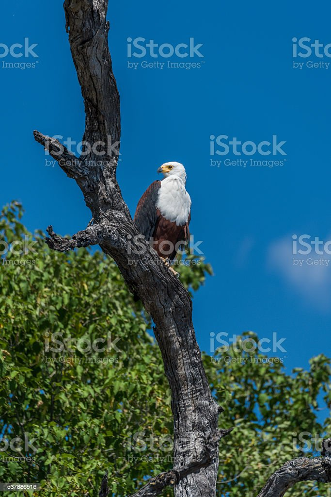 African fish eagle on dead tree branch stock photo