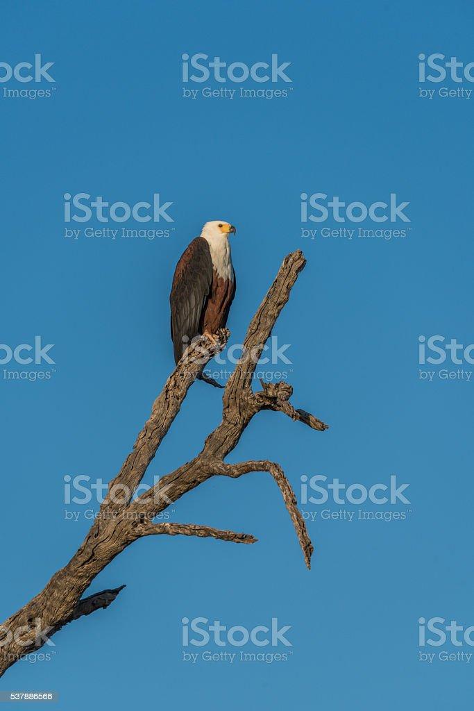 African fish eagle on dead tree stump stock photo