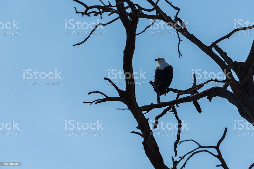 African fish eagle perched in dead tree stock photo