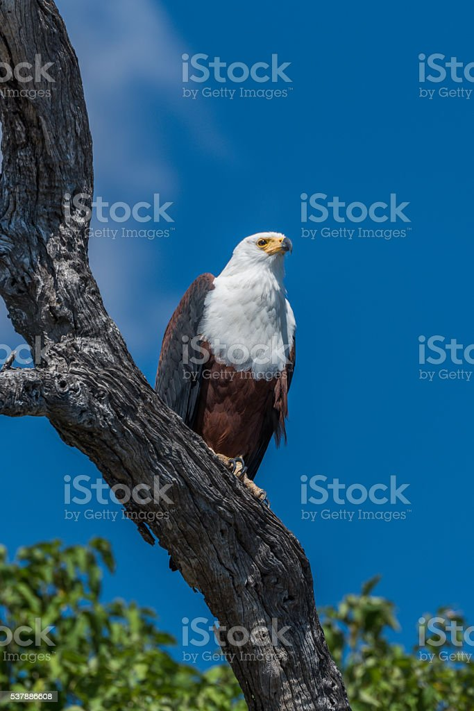 African fish eagle perched on dead branch stock photo