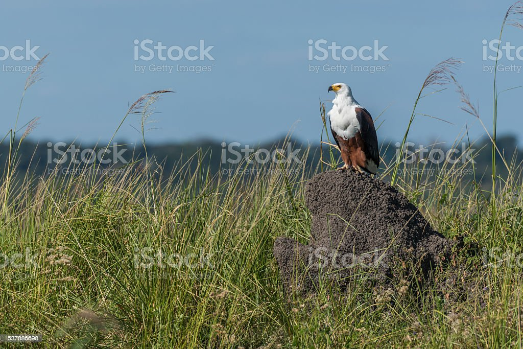 African fish eagle perched on termite mound stock photo