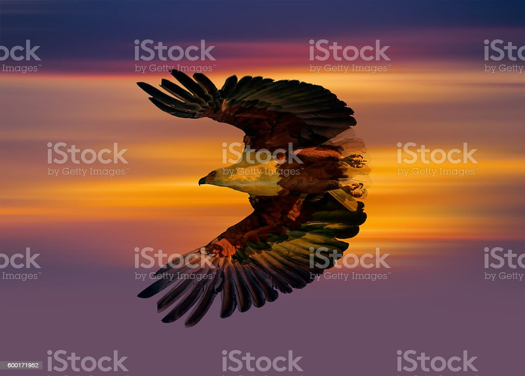 African Fish Eagle stock photo
