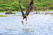 African Fish Eagle - preying giant fish