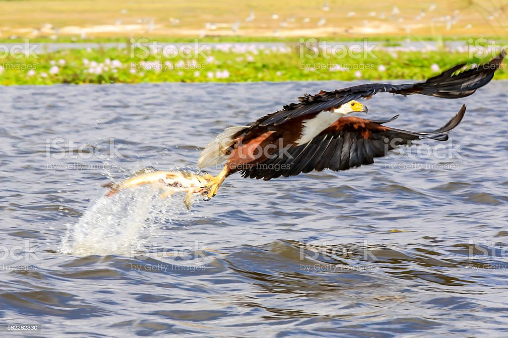 African Fish Eagle - preying giant fish stock photo