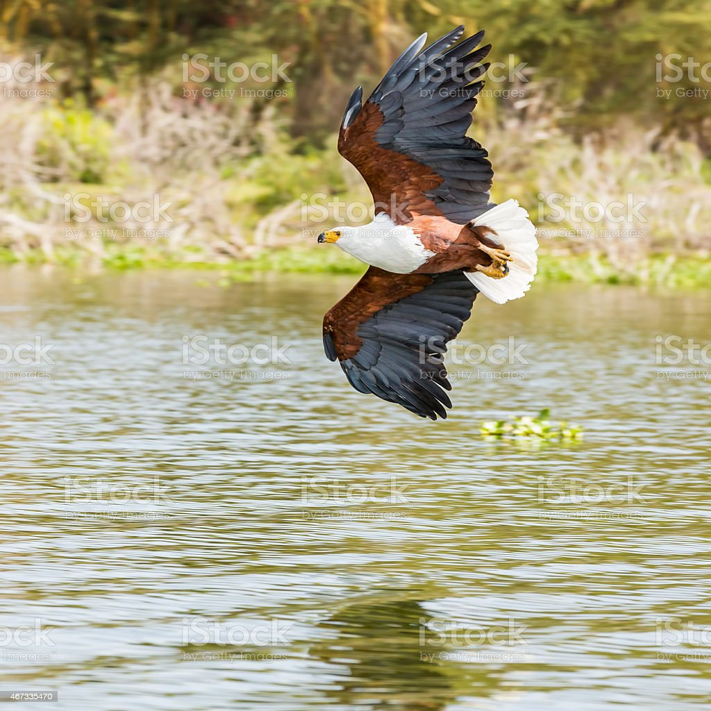 African Fish Eagle - preying stock photo