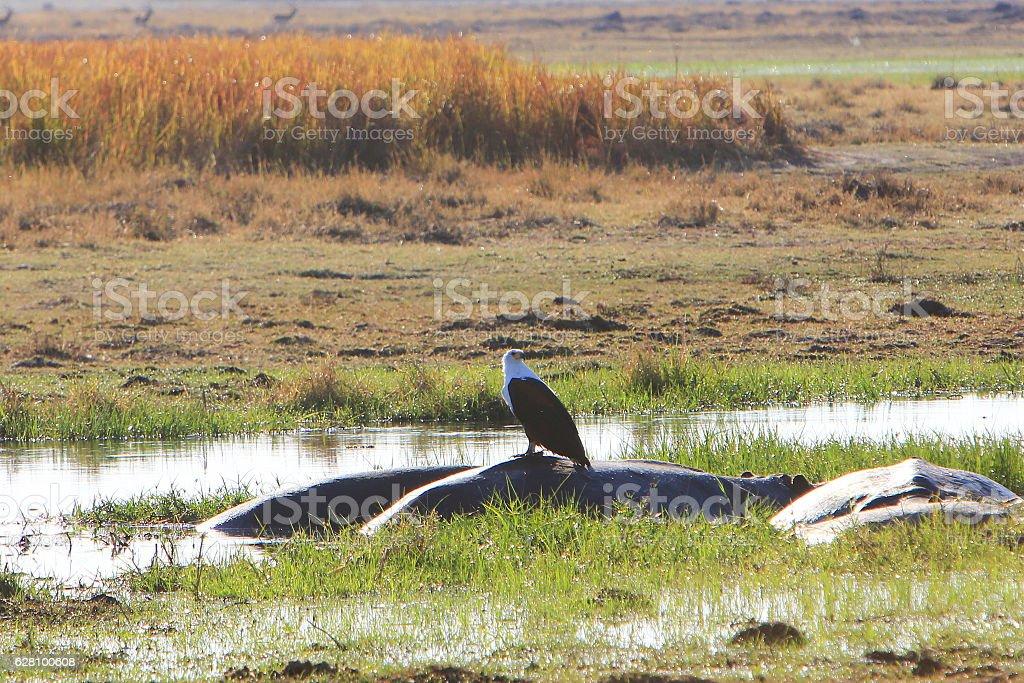 African fish eagle resting on a hippopotamus in Okavango Delta stock photo