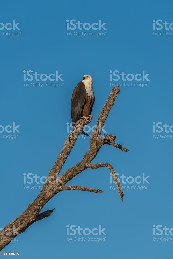 African fish eagle sitting on dead tree stump stock photo