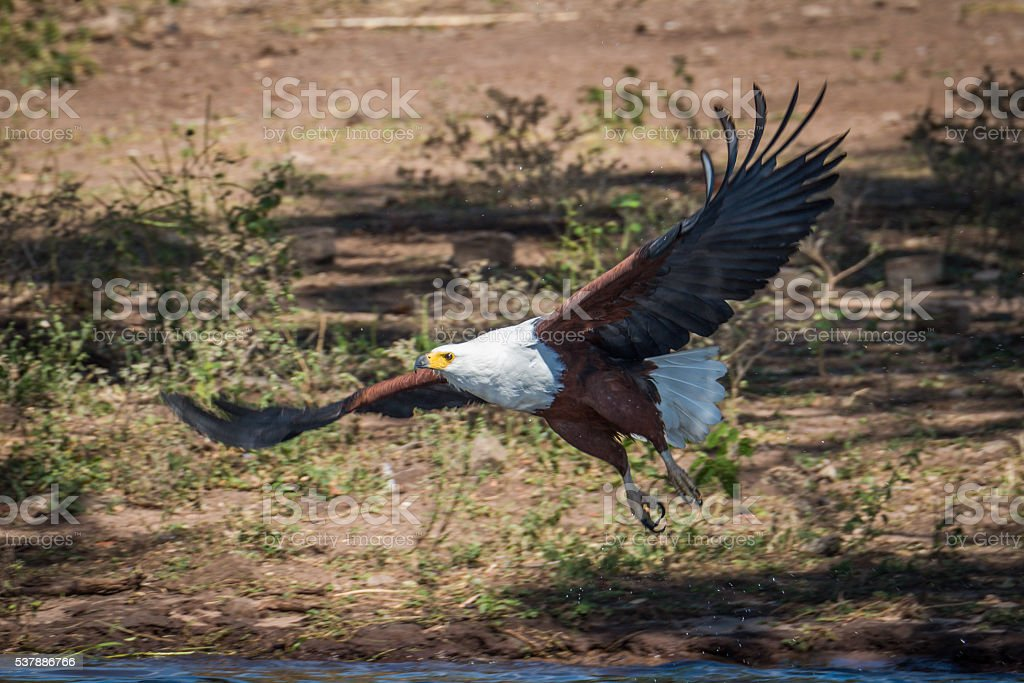 African fish eagle taking off from riverbank stock photo