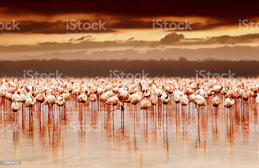 African flamingos on sunset stock photo