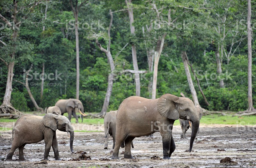 African Forest Elephants stock photo