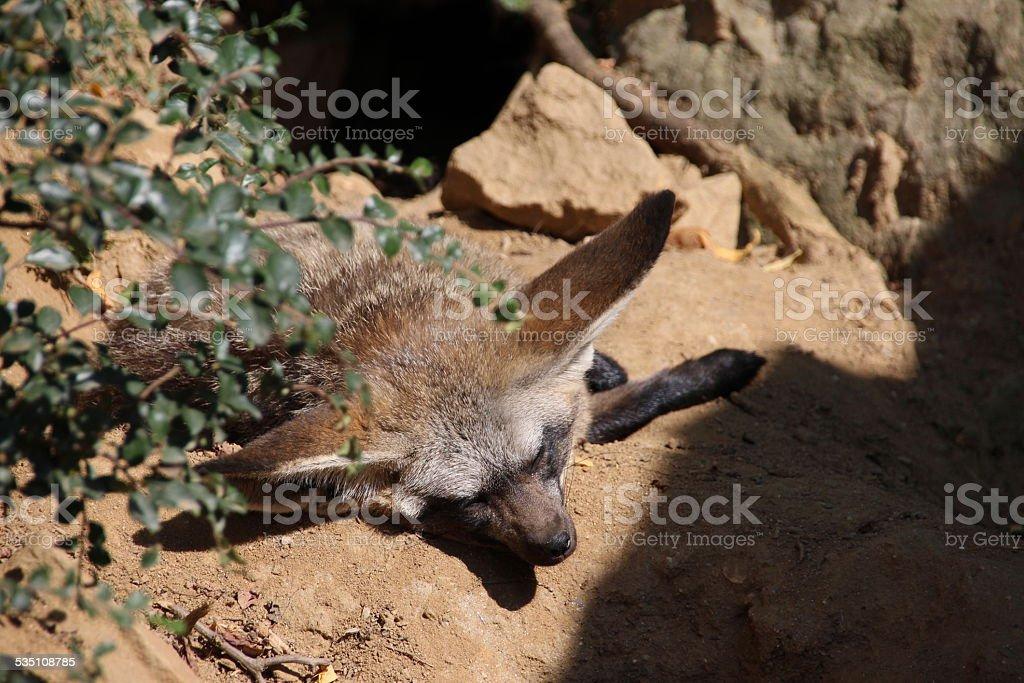 African Fox stock photo
