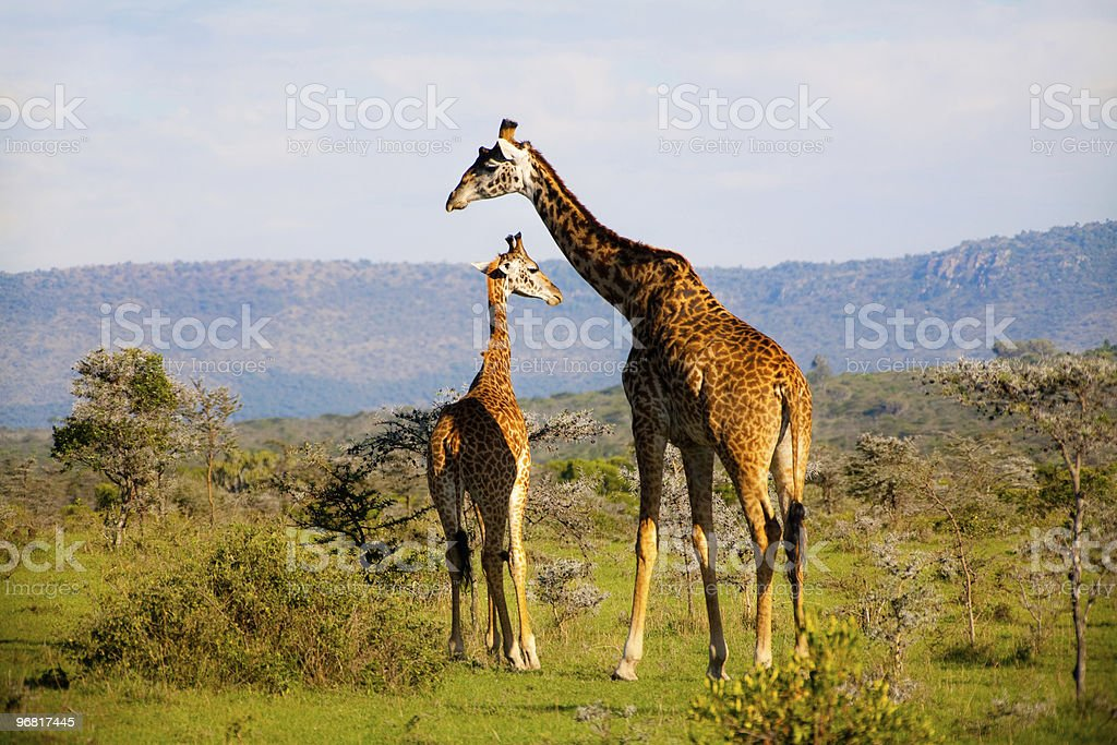 African giraffe family royalty-free stock photo