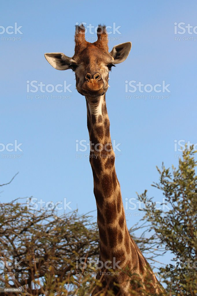 African Giraffe head above the Acacia trees stock photo