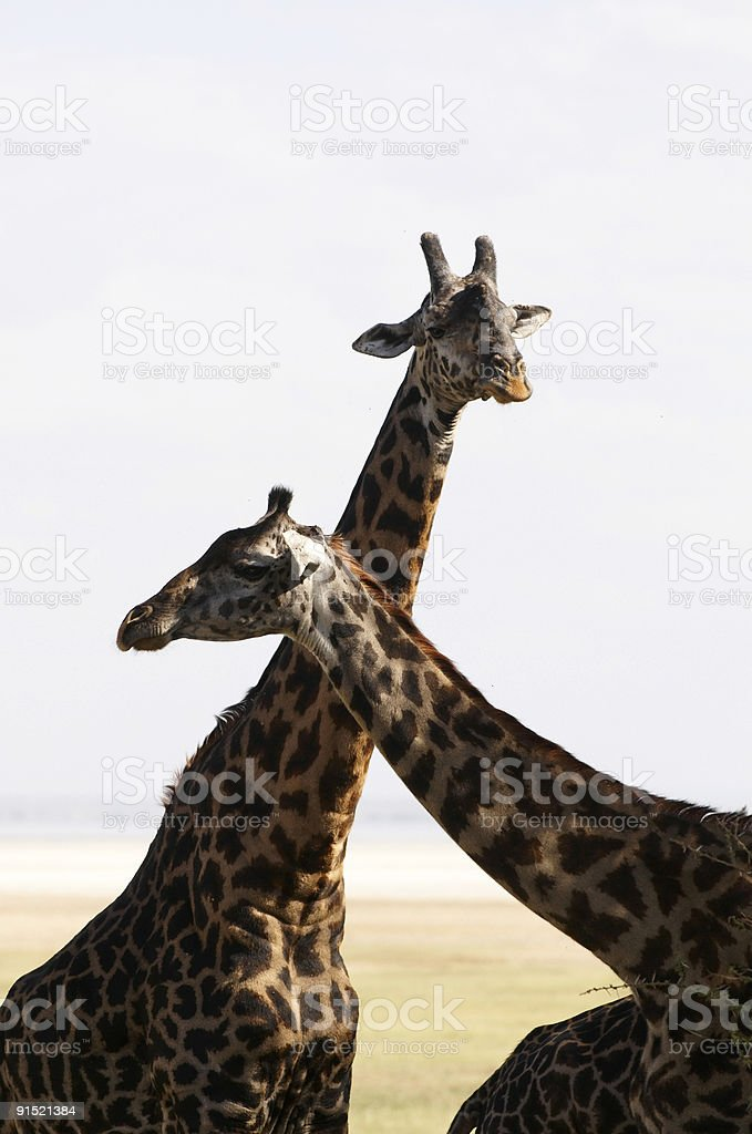 African giraffe in savannah royalty-free stock photo