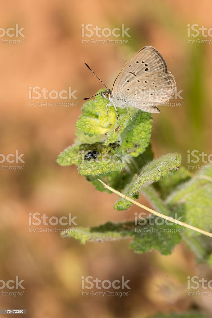 African Grass Blue butterfly resting on leaf royalty-free stock photo