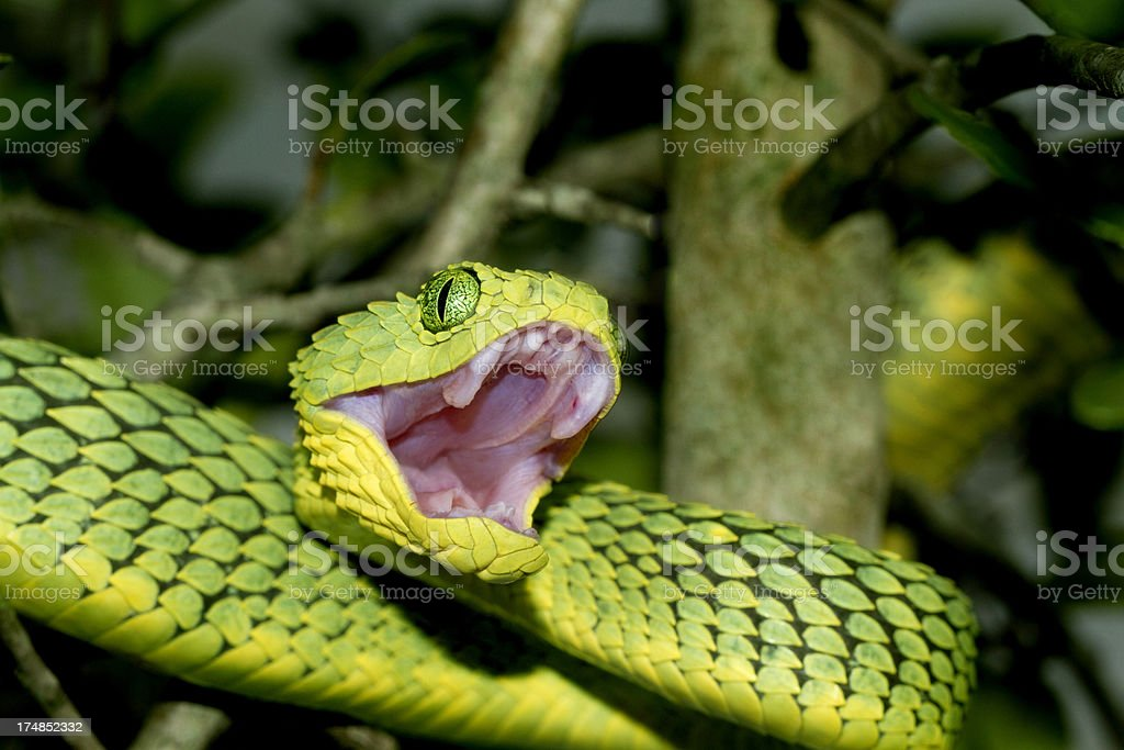 African Green Bush Viper with open Mouth stock photo