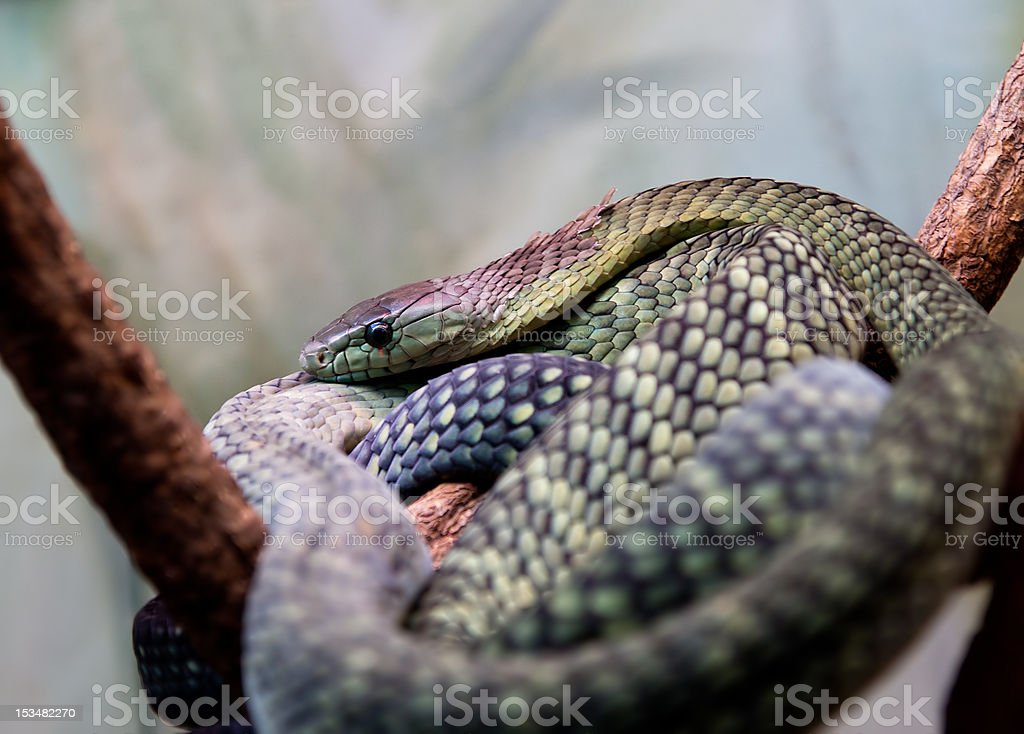 African green mamba royalty-free stock photo