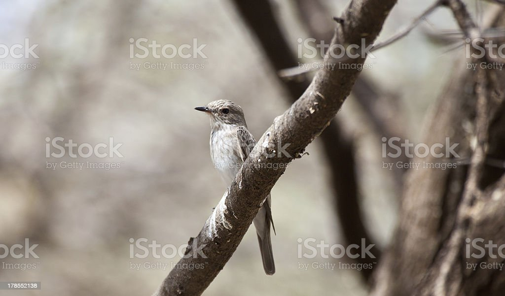African Grey Flycatcher stock photo