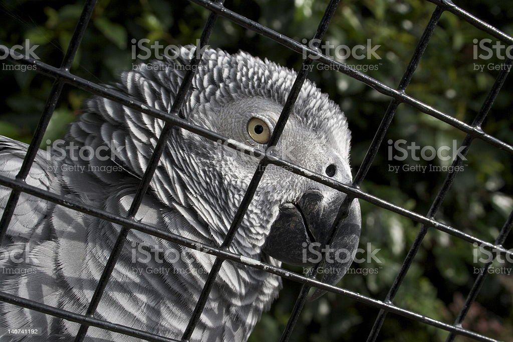 African Grey Parrot at the Zoo stock photo