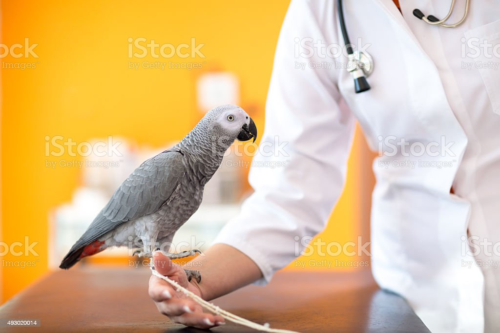 African grey parrot at vet clinic stock photo