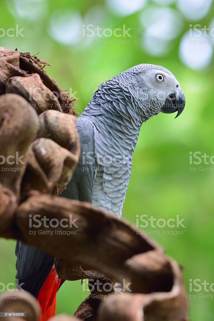 African Grey Parrot (Psittacus erithacus), On A Branch royalty-free stock photo
